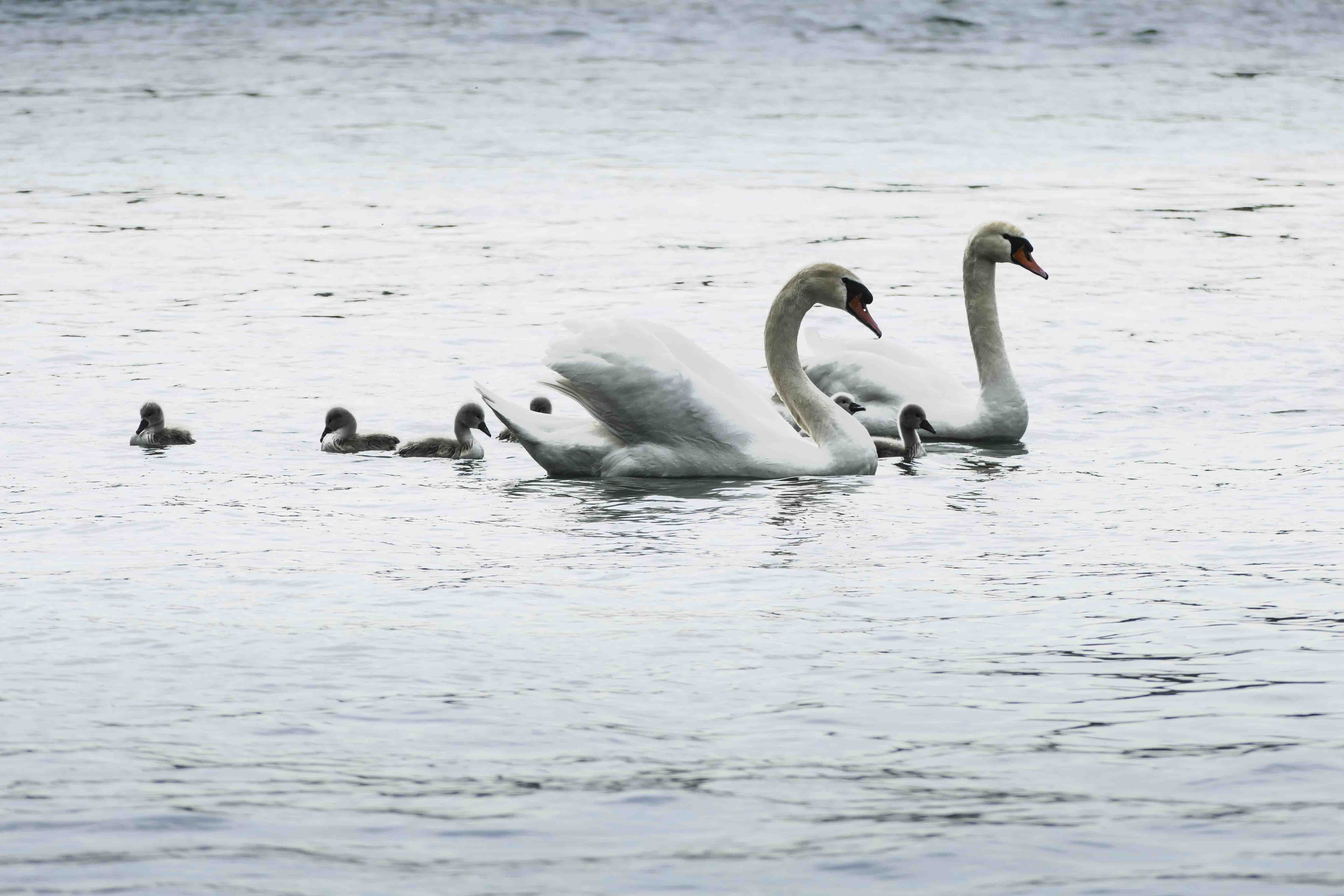 swan with babies 1