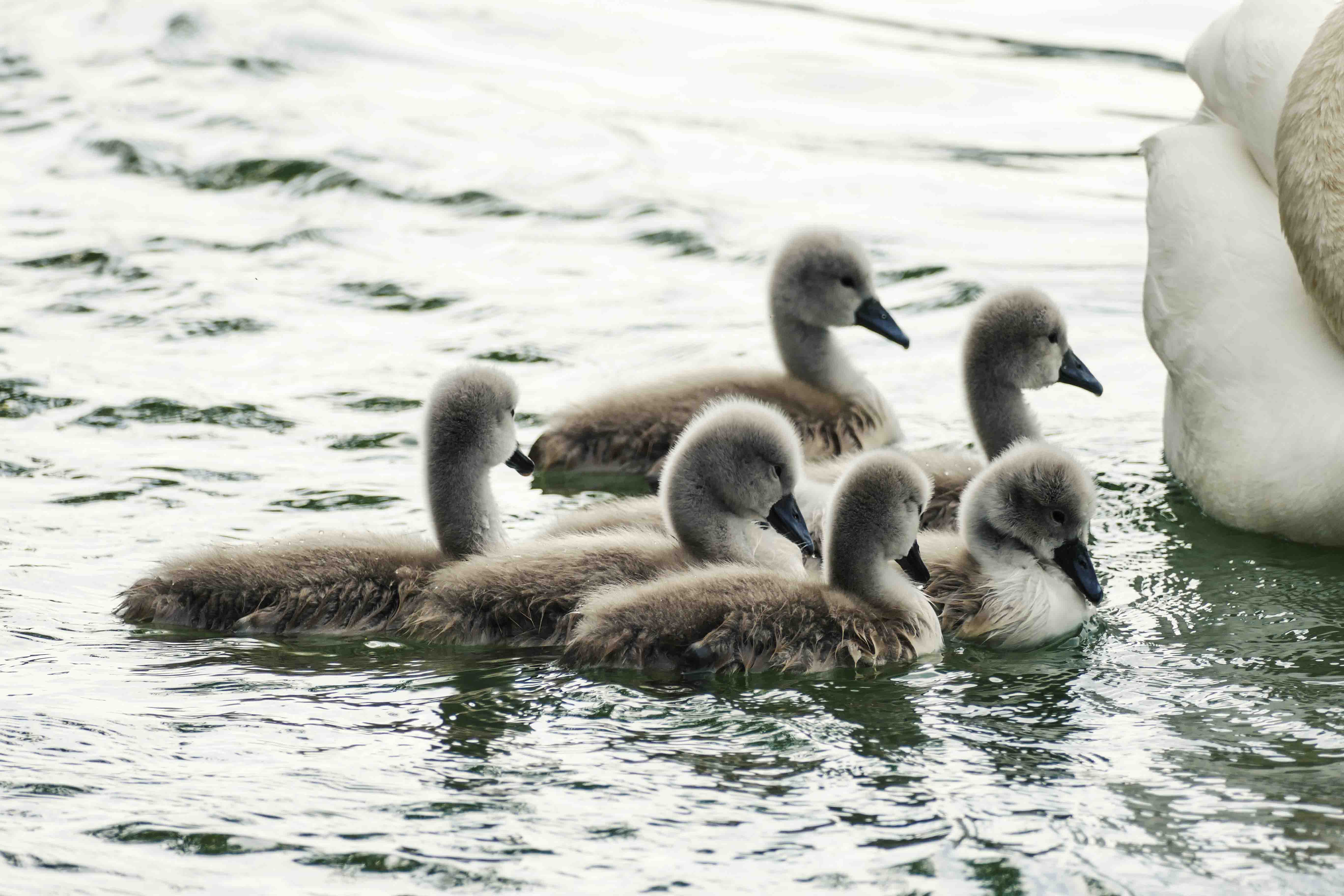swan with babies 2